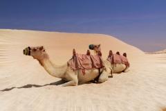 Kamele Wüste