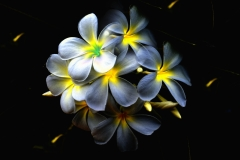 Frangipani Blumen