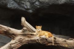 Löwe auf Baumstamm liegend