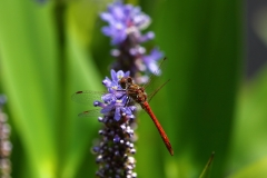Libelle Blume